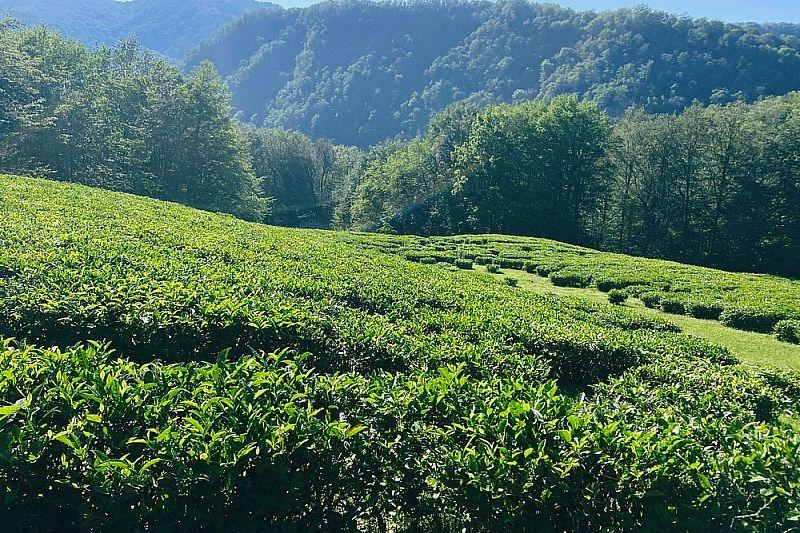 Историческую и перспективную карты чайных плантаций создают в Сочи